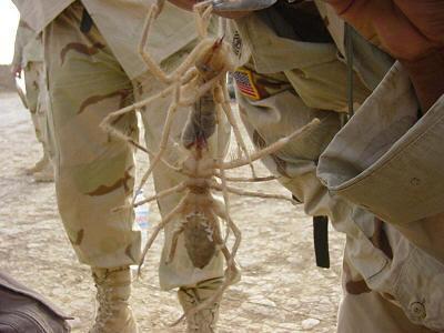 Camel Spiders: Saddamite Demons | Blogs 4 Huckabee